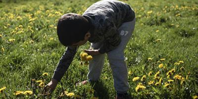 Billede af dreng der plukker mælkebøtter